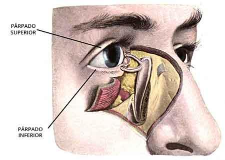 dibujo que muestra la anatomía de la zona ocular para la cirugía de párpados o blefaroplastia.